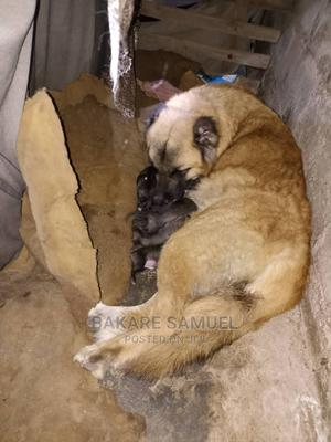 1-3 Month Female Purebred Caucasian Shepherd | Dogs & Puppies for sale in Oyo State, Ibadan