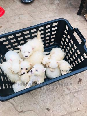 1-3 Month Female Purebred American Eskimo | Dogs & Puppies for sale in Lagos State, Surulere