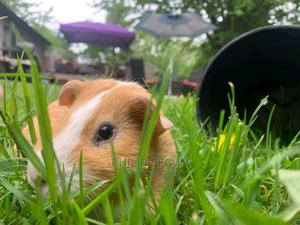 Guinea Pigs Available | Other Animals for sale in Lagos State, Ikorodu