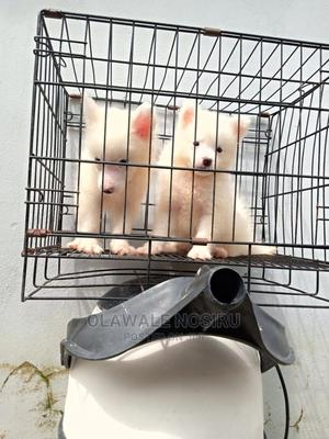 1-3 Month Female Purebred American Eskimo | Dogs & Puppies for sale in Lagos State, Ajah