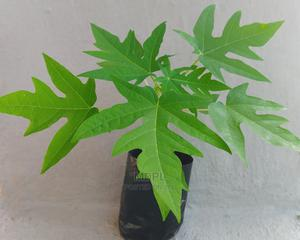 Dwarf Pawpaw Seedlings | Feeds, Supplements & Seeds for sale in Kwara State, Ilorin West