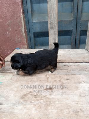 1-3 Month Male Purebred Lhasa Apso | Dogs & Puppies for sale in Lagos State, Apapa