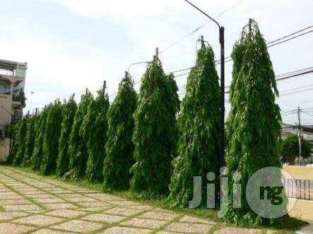 Masquerade Tree Seedling Plant Polylathia Longifolia Seedlings