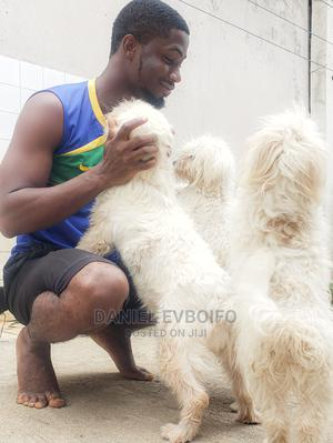 3-6 Month Male Purebred Lhasa Apso   Dogs & Puppies for sale in Abuja (FCT) State, Lugbe District