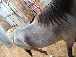 Sniper a Very Lovely Horse | Other Animals for sale in Jigawa State, Dutse-Jigawa