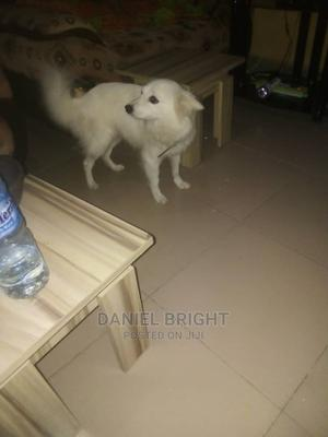 1+ Year Female Purebred American Eskimo   Dogs & Puppies for sale in Kwara State, Ilorin South
