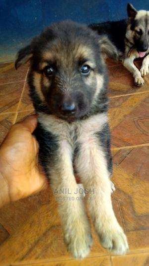 1-3 Month Female Purebred German Shepherd   Dogs & Puppies for sale in Cross River State, Calabar