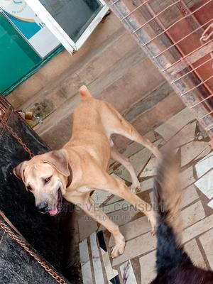 6-12 Month Male Purebred Boerboel | Dogs & Puppies for sale in Lagos State, Abule Egba