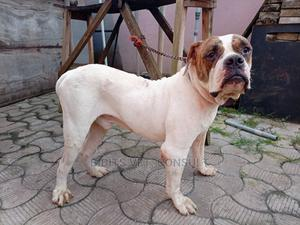 1+ Year Male Purebred American Pit Bull Terrier | Dogs & Puppies for sale in Lagos State, Abule Egba