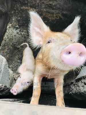 Pigs Available   Livestock & Poultry for sale in Ogun State, Ijebu Ode