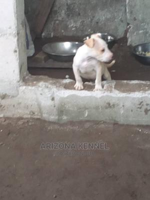 1-3 Month Female Purebred American Pit Bull Terrier | Dogs & Puppies for sale in Rivers State, Port-Harcourt