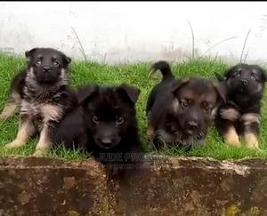 1-3 Month Female Purebred German Shepherd | Dogs & Puppies for sale in Delta State, Ugheli