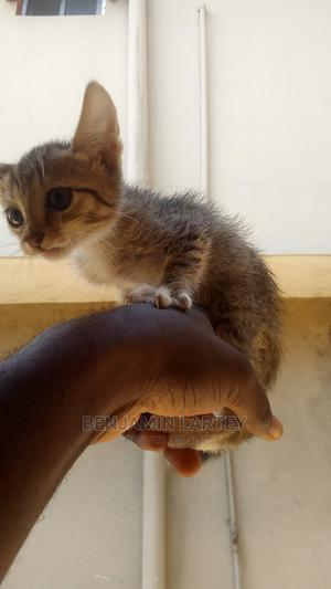 1-3 Month Female Purebred American Shorthair   Cats & Kittens for sale in Lagos State, Ajah