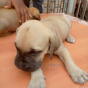 1-3 Month Female Purebred Boerboel | Dogs & Puppies for sale in Lagos State, Apapa