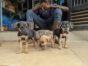 0-1 Month Male Mixed Breed Boerboel | Dogs & Puppies for sale in Edo State, Benin City