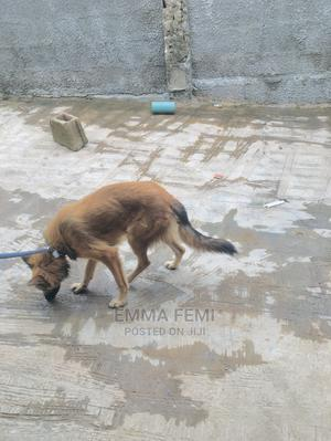 6-12 Month Female Purebred German Shepherd   Dogs & Puppies for sale in Kwara State, Offa