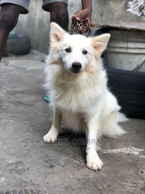 3-6 Month Male Purebred American Eskimo | Dogs & Puppies for sale in Lagos State, Ojo