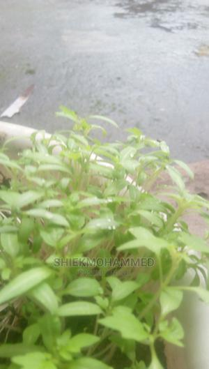 Fresh Tomatos Seedlings (HYDROPONICS)   Feeds, Supplements & Seeds for sale in Akwa Ibom State, Uyo