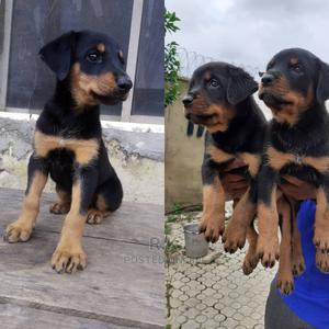 1-3 Month Male Purebred Rottweiler | Dogs & Puppies for sale in Lagos State, Eko Atlantic