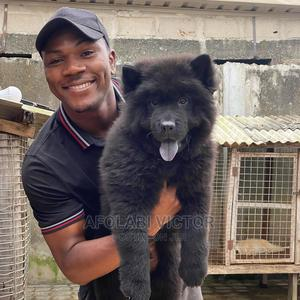 1-3 Month Male Purebred Chow Chow | Dogs & Puppies for sale in Delta State, Warri