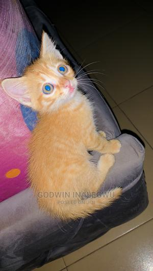 1-3 Month Male Mixed Breed American Wirehair   Cats & Kittens for sale in Abuja (FCT) State, Jabi
