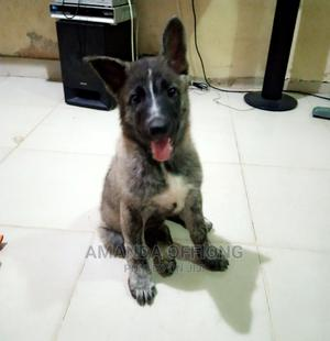 1-3 Month Female Mixed Breed Caucasian Shepherd | Dogs & Puppies for sale in Cross River State, Calabar