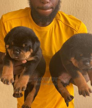 1-3 Month Female Purebred Rottweiler | Dogs & Puppies for sale in Lagos State, Ajah