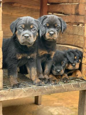 1-3 Month Male Purebred Rottweiler   Dogs & Puppies for sale in Lagos State, Ojo
