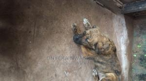 1-3 Month Female Purebred Boerboel | Dogs & Puppies for sale in Anambra State, Orumba