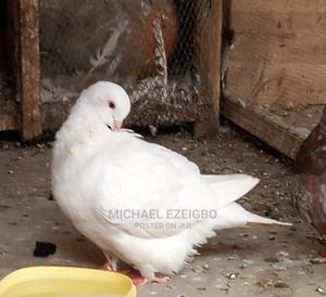 White Bullet Pigeons | Birds for sale in Kaduna State, Kaduna / Kaduna State