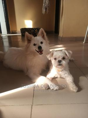 1+ Year Male Mixed Breed Lhasa Apso | Dogs & Puppies for sale in Abuja (FCT) State, Kubwa