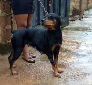 1+ Year Female Purebred Rottweiler | Dogs & Puppies for sale in Lagos State, Lagos Island (Eko)