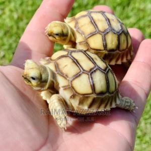 Sucata Tortoise Lovely Pet   Reptiles for sale in Lagos State, Surulere