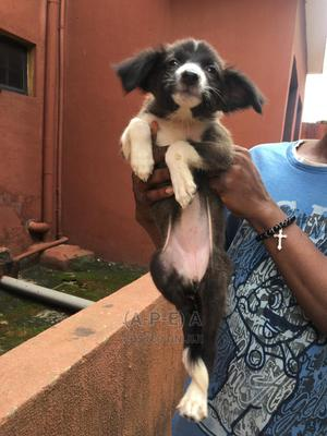 1-3 Month Female Mixed Breed American Eskimo | Dogs & Puppies for sale in Lagos State, Ikorodu