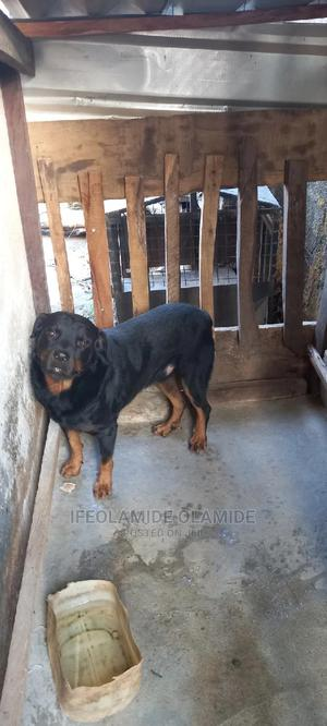 1+ Year Male Purebred Rottweiler   Dogs & Puppies for sale in Niger State, Suleja