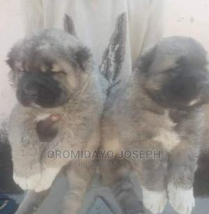 1-3 month Female Purebred Caucasian Shepherd | Dogs & Puppies for sale in Ogun State, Abeokuta South