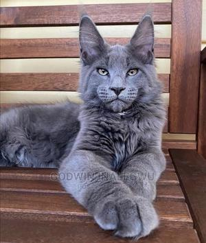 1-3 Month Male Purebred Maine Coon | Cats & Kittens for sale in Abuja (FCT) State, Wuse 2