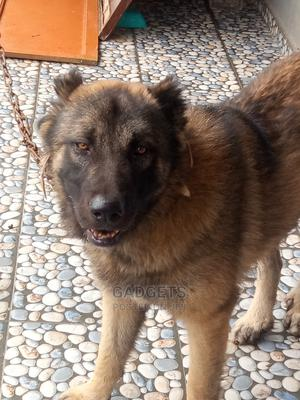 1+ Year Male Purebred Caucasian Shepherd   Dogs & Puppies for sale in Delta State, Warri
