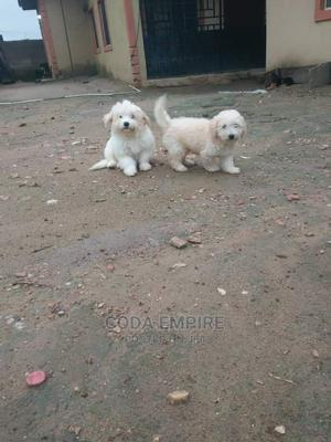 1-3 Month Female Purebred Lhasa Apso   Dogs & Puppies for sale in Abuja (FCT) State, Kubwa