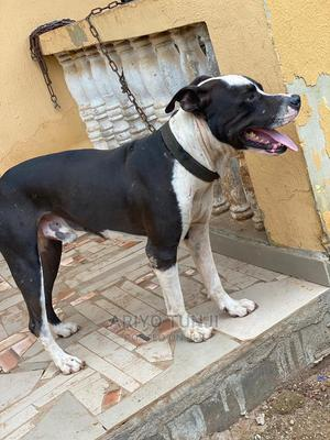 1+ Year Male Purebred American Pit Bull Terrier | Dogs & Puppies for sale in Oyo State, Ibadan