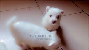 1-3 Month Female Purebred American Eskimo   Dogs & Puppies for sale in Lagos State, Abule Egba