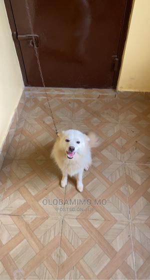 6-12 Month Male Purebred American Eskimo   Dogs & Puppies for sale in Ogun State, Sagamu