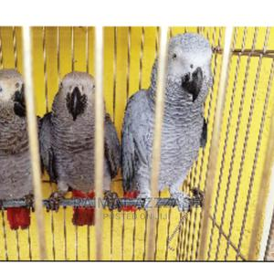 African Grey Parrot Birds | Birds for sale in Lagos State, Surulere