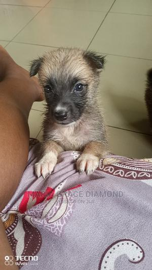 1-3 Month Female Mixed Breed American Eskimo   Dogs & Puppies for sale in Delta State, Warri