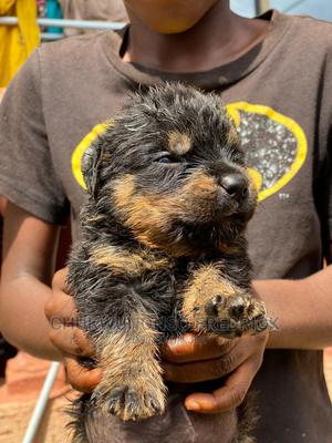 0-1 Month Female Purebred Rottweiler   Dogs & Puppies for sale in Enugu State, Enugu