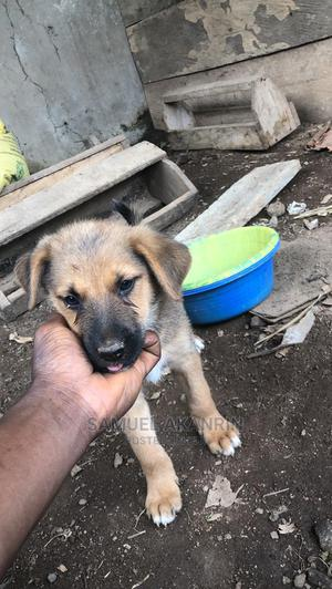 1-3 Month Female Mixed Breed Caucasian Shepherd | Dogs & Puppies for sale in Osun State, Osogbo