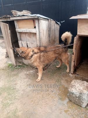 1+ Year Male Mixed Breed Caucasian Shepherd | Dogs & Puppies for sale in Abuja (FCT) State, Kubwa