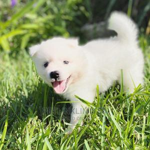 1-3 Month Female Purebred American Eskimo | Dogs & Puppies for sale in Lagos State, Maryland