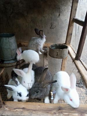 Rabbits for Sale in Ibadan   Other Animals for sale in Oyo State, Ibadan