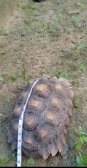 African Giant Tortoise | Reptiles for sale in Abuja (FCT) State, Gwarinpa